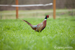 Male Pheasant at liberty at Baxter Barn farm in Fall City, WA