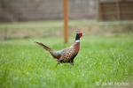 Male Pheasant at liberty at Baxter Barn farm