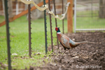 Male Pheasant at liberty at Baxter Barn farm