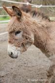 Miniature Mediterranean Donkey foal at Baxter Barn farm