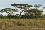 Acacia Trees scenic