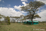 Luxury Tents Mobile Camp, surrounded by Acacia trees
