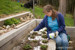 Woman, Kath, spreading crushed egg shells over strawberry garden to act as an organic slug repellant.