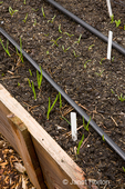 Red Wethersfield Onion and Erste Ernte Spinach sprouting in the spring in a raised bed garden