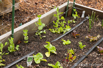 """Buttercrunch"" Butterhead Lettuce, other lettuce, snow peas, swiss chard, and onions growing in the spring, showing drip irrigation system"