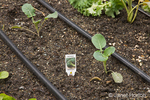 'Packman' Broccoli growing in the spring with drip irrigation showing