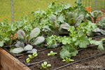 Spring vegetable garden, showing green kale and other veggies which grew over the winter, and new veggies just planted in a raised garden bed