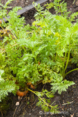 Overwintering carrots growing in the ground in a spring garden