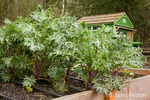 Red kale plant in a raised bed garden with a green shed in the background