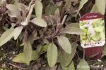 Purple sage plant in the ground