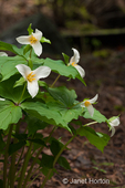 Western Trillium wildflowers growing in my yard