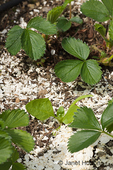Crushed egg shells spread over a strawberry and spinach garden to act as an organic slug repellant.