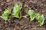 Snow pea plants sprouting in the ground in spring