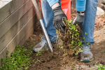 Woman using shovel to losen weeds, and then pulling them out of the garden