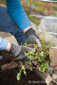 Woman pulling weeds from terraced kitchen vegetable garden