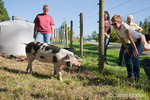 Gloucestershire Old Spots pig greeting visitors