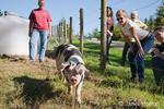 Gloucestershire Old Spots pig greeting visitors at Dog Mountain Farm.