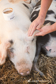 Gloucestershire Old Spots pig getting ear care at Dog Mountain Farm.