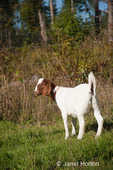 Boer goat in pasture at Dog Mountain Farm