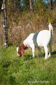 Boer goat eating grass in pasture at Dog Mountain Farm