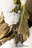Snow-covered over-wintering vegetables in a garden