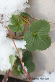 Snow-covered strawberry plants in a raised bed garden