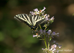 Pale Swallowtail butterfly pollinating a Yerba Santa wildflower