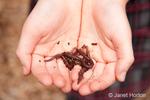 Earthworms being held in a girl's hands.