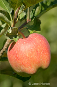 Close-up of a Red Delicious apple on a tree, not yet ripe at Wilson Banner Ranch