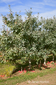 Apple tree with apples rejected by the pickers lying at the base of the trees, at Lucia's Orchards