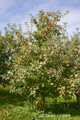 Apple tree with apples on it at Lucia's Orchards