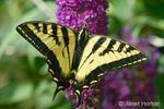 Western Tiger Swallowtail butterfly on Black Knight Butterfly Bush (