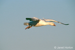 Snow Goose flying at sunset