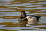 Lesser Scaup swimming in pond