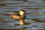 Female Ruddy Duck swimming in a pond