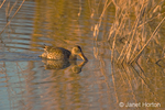 Female Northern Shoveler duck swimming and eating in a pond with cattails