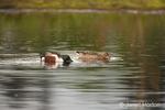 Pair of Northern Shoveler ducks swimming in a lake