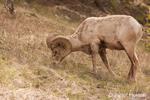 Bighorn Sheep ram eating grass