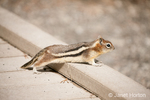 Golden-mantled Ground Squirrel on a boardwalk