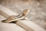 Golden-mantled Ground Squirrel stretching as if to do a