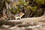 Golden-mantled Ground Squirrel sitting on a log