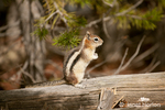 Golden-mantled Ground Squirrel standing on a log in the woods