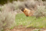 Yellow-bellied Marmot partially concealed in the low brush