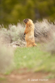 Yellow-bellied Marmot standing on its hind legs