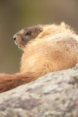 Yellow-bellied Marmot keeping a watch while sitting on a boulder
