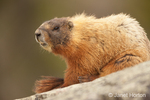 Yellow-bellied Marmot keeping a watch with its teeth showing while sitting on a boulder
