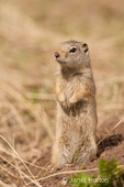 Uinta Ground Squirrel standing on his hind legs