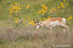 Pronghorn buck eating with Arrow-leaved Balsamroot in the background