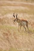 Pronghorn buck walking