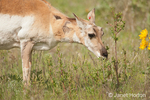 Pronghorn doe with a red ear tag eating a bush